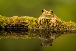 Amazonian (amazon) Milk Frog perched on a mossy log at the edge of a pond showing reflection in pond with green background.