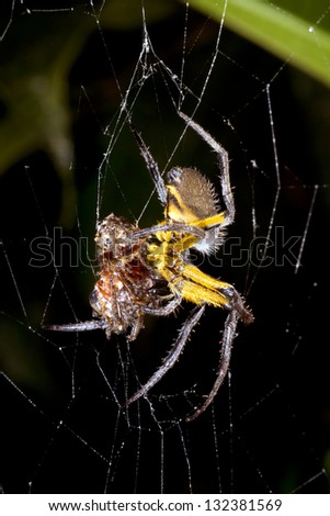 Amazonian orb-web spider eating a prey item at night, Ecuador