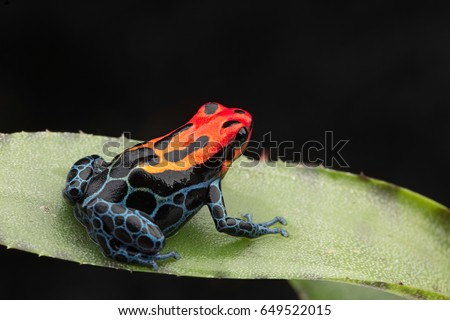 Amazonian Poison dart Frog, Ranitomeya ventrimaculata, Arena Blanca. Red blue poisonous animal from the Amazon rain forest of Peru. \r