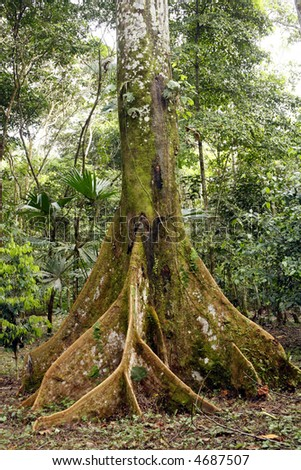Amazonian tree with buttress roots