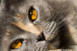 Amber tea yellow eyes cat breed Scottish Fold close-up. Cat smoky gray color blue