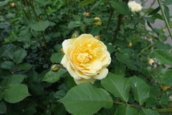 Amber yellow flower in the leafage of rose bush in May