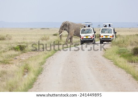 Amboseli, Kenya - February 5: Elephants crossing the road in front of two Safari Cars with tourists in Amboseli National Park in Kenya on February 5, 2013