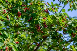 Amelanchier lamarckii ripe and unripe fruits on branches, group of berry-like pome fruits called serviceberry or juneberry, green leaves