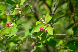 Amelanchier lamarckii ripening fruits on branches, group of berry-like pome fruits called serviceberry or juneberry, green leaves