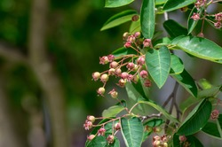 Amelanchier lamarckii unripe fruits on branches, group of berry-like pome fruits called serviceberry or juneberry, green leaves