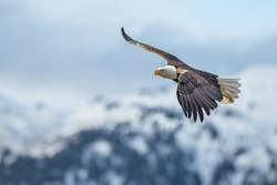 amercan bald eagle in flight against kenai mountains of alaska