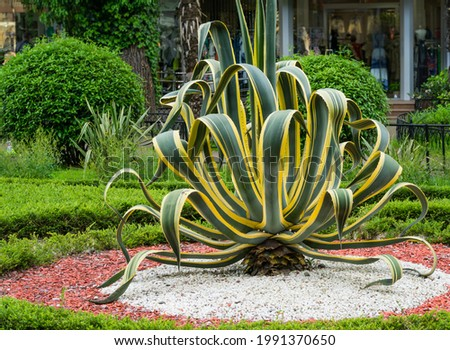American agave (Agave americana) striped — species of Agave genus, Agave subfamily, Asparagus family in landscape spring Sochi city park. Selective focuse.