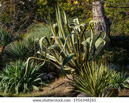American agave (Agave americana) striped - species of genus Agave, Agave subfamily, Asparagus family against background of evergreen plants. Sochi city center. Landscape park near Winter Theater.