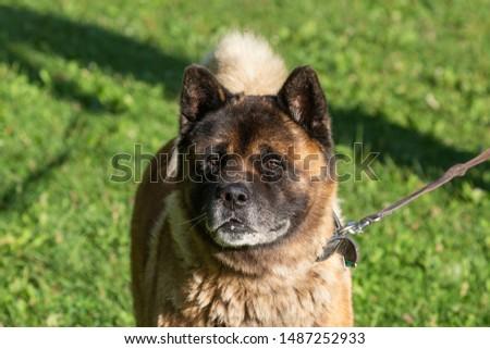 American Akita - dog an American strain, known as the Akita or American Akita #1487252933