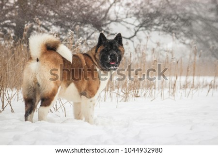 American akita dog posing in the snow outside. #1044932980