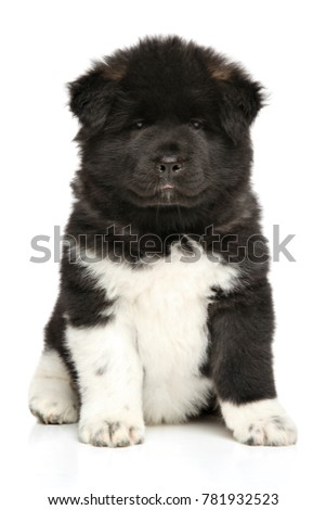 American Akita dog puppy. Close-up portrait on white background. Baby animal theme ストックフォト ©