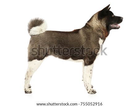 American Akita in stand on white background #755052916