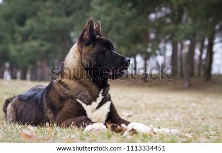 American akita puppies posing in spring outside.  #1113334451