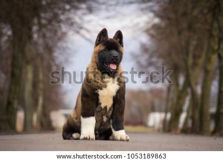 American akita puppy posing outside. #1053189863