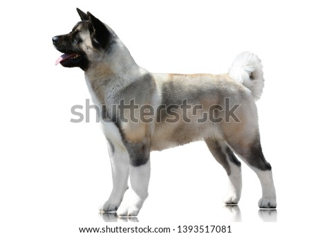 American Akita Stand Isolated on White Background. Side view #1393517081