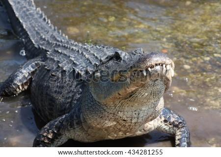 american alligator #434281255