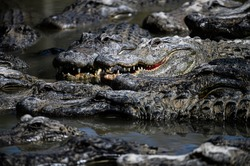 American Alligator. A large alligators swimming in a lake. Alligator with head showing and mouth open.