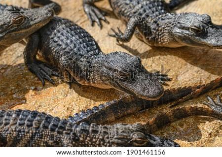 American Alligator. A small alligators swimming in a lake.