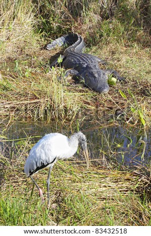 American  Alligator (Alligator Mississippiensis) and a Woodstork (Mycteria Americana) living side by side in the Florida Everglades