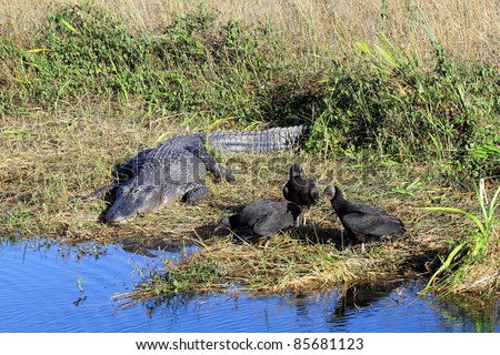 American  Alligator (Alligator Mississippiensis) and Black Vultures (Coragyps atratus) living side by side in the Florida Everglades