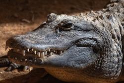 American alligator (Alligator mississippiensis) close up portrait