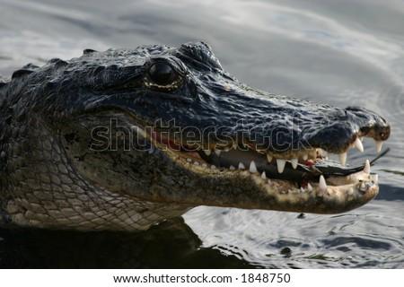 American alligator (Alligator mississippiensis) feeding on catfish, Everglades National Park, Anhinga Trail, Florida