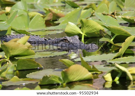 American Alligator (Alligator mississippiensis) Hiding in Lily Pads on the Suwannee River -Okefenokee Swamp, Georgia #95502934