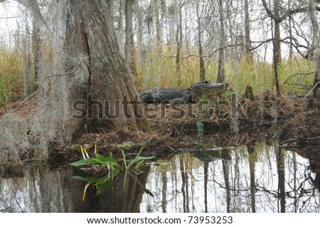 American Alligator (Alligator mississippiensis) in its natural habitat on the banks of the Suwannee River next to a large buttressed bald cyprus tree - Okefenokee Swamp Wildlife Refuge, Georgia - stock photo