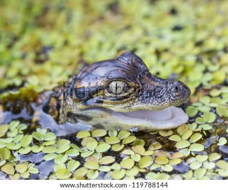 American alligator (Alligator mississippiensis) Juvenile