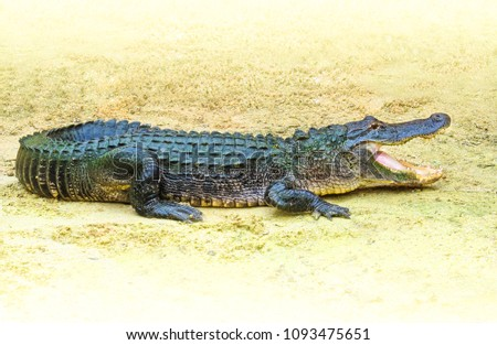 American alligator (Alligator mississippiensis) outdoors in Florida, USA. Dangerous crocodilian reptile with open mouth on yellow sand background.