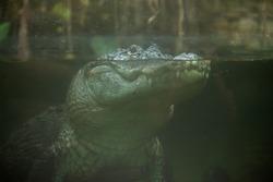 American alligator (Alligator mississippiensis). Wildlife animal.