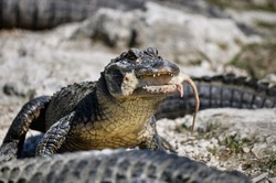 American Alligator. Hunting rat. Alligator eating rat