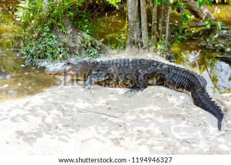 American Alligator in Florida Wetland. Everglades National Park in USA.