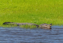 American Alligator in green grass on the bank of the , green grassMyakka River in Myakka River State Park on Sarasota Florida USA