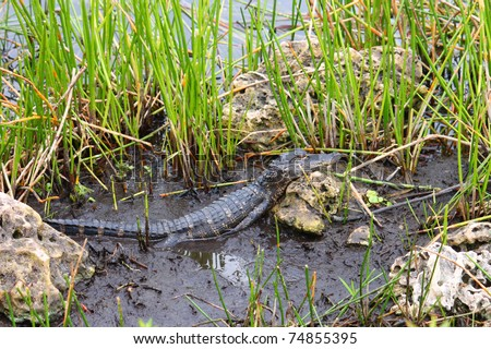 American alligator in the Everglades National Park - Florida