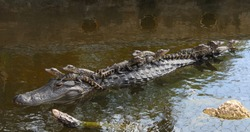 american alligator mother with 9 babies riding on her back in the canal