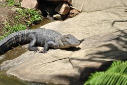 American Alligator resting on land