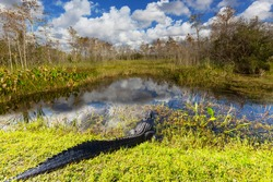 American Alligator Swimming in Everglades with colorful reflection in water wild nature national park