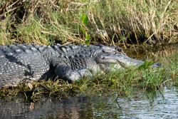 American alligator with gray skin and raised ridges on its back appears to smile as it rests at the edge of a Florida marsh.