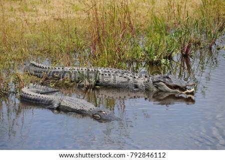 American Alligators (Alligator mississippiensis), Myakka River, Florida #792846112
