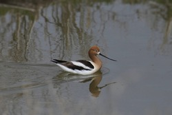 American Avocet (recurvirostra american) swimming in a pond