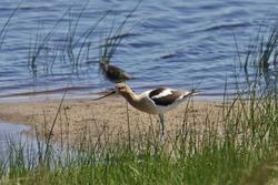 American Avocet (recurvirostra americana) standing on a sandbar