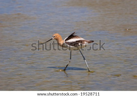 American Avocet wading in marshland