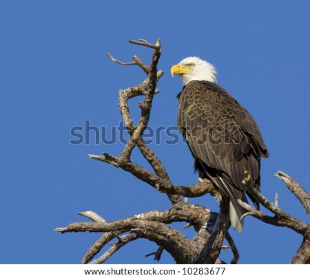 American Bald Eagle against a clear blue sky.