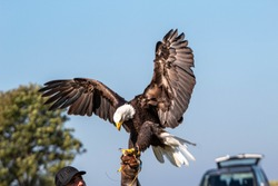 American Bald Eagle at a Wheels and Wings show in North Berwick