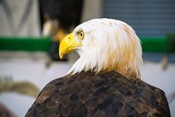 american bald eagle close-up against blue background, non-captive