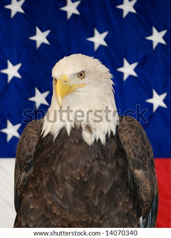 American bald eagle close up in front of a USA flag