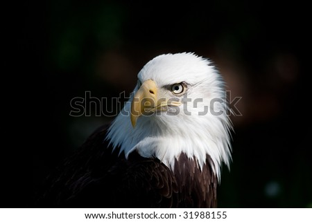 american bald eagle close up of head