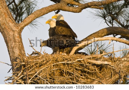 American Bald Eagle family portrait in the nest.